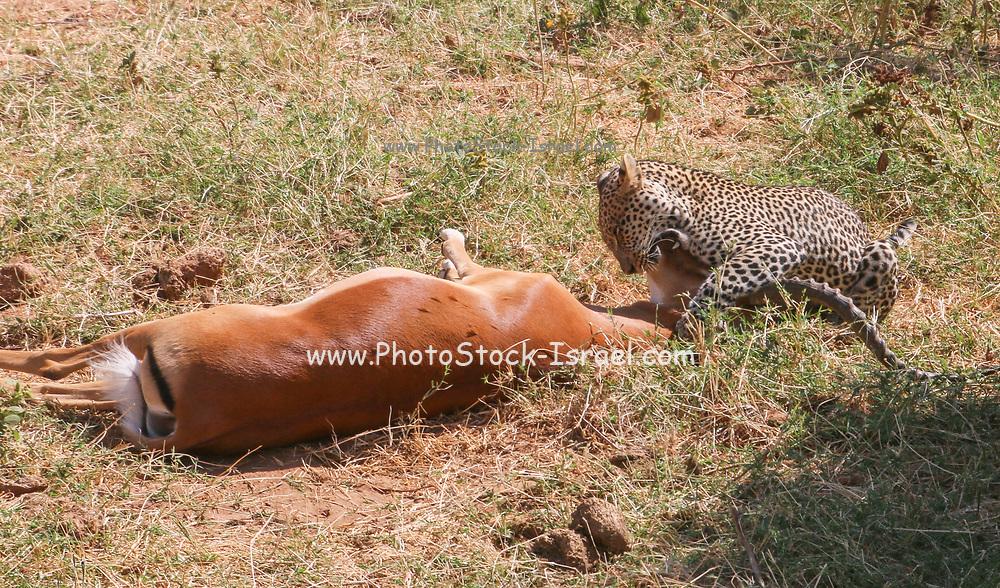 Leopard (Panthera pardus) Hunts an Impala (Aepyceros melampus) at the moment of the kill. Photographed at Serengeti National Park, Tanzania