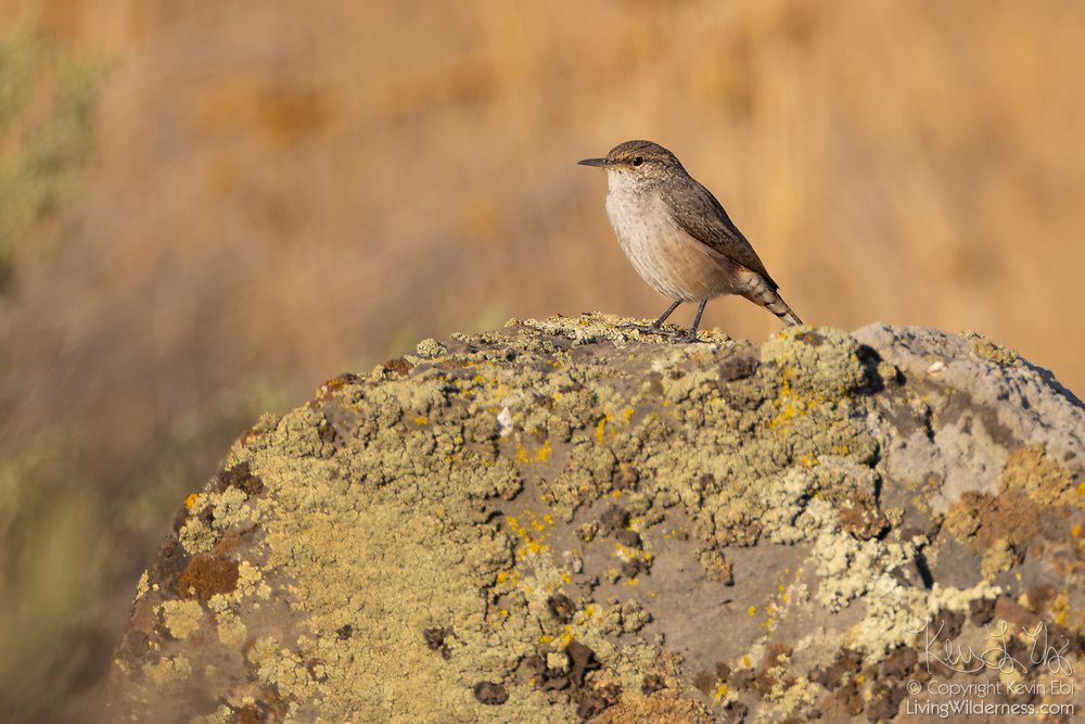 A rock wren (Salpinctes obsoletus) rests on a basalt rock in the Columbia National Wildlife Refuge in Washington state. Rock wrens mainly feed on insects and spiders, using their long, curved bills to probe around rocks and other objects on the ground.