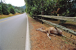 Dead Black-tailed Deer On A California Road