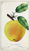 'Sweet Bough' is an early ripening cultivar of domesticated apple also known by various other names including 'August Sweeting', 'Early Yellow Bough', and 'White Sugar'. It is also incorrectly known as 'Washington' from Dewey's Pocket Series ' The nurseryman's pocket specimen book : colored from nature : fruits, flowers, ornamental trees, shrubs, roses, &c by Dewey, D. M. (Dellon Marcus), 1819-1889, publisher; Mason, S.F Published in Rochester, NY by D.M. Dewey in 1872