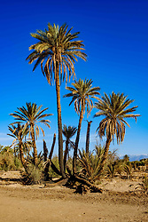 An oasis near Skoura in southern Morocco with the snow topped Atlas Mountains in the distance<br /> <br /> (c) Andrew Wilson | Edinburgh Elite media