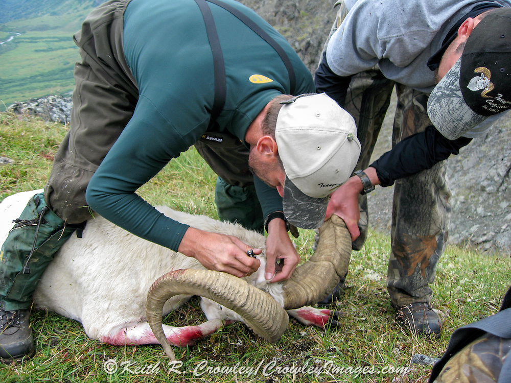 Guides Caping a Dall Sheep Ram in the Chugach Mountains of Alaska