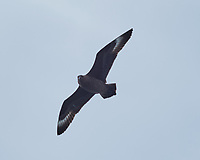 Brown Skua soaring above the MS Fram. Image taken with a Fuji X-T1 camera and 60 mm f/2.8 macro lens (ISO 200, 60 mm, f/8, 1/500 sec).