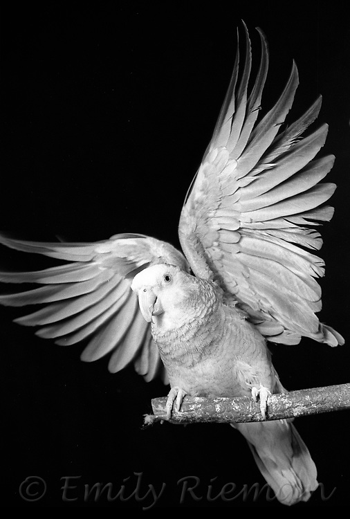 Studio portrait of a parrot, shot on black and white film