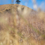 A lone oak tree atop a hill in the Santa Monica Mountains.