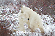 01874-12513 Two Polar bears (Ursus maritimus) sparring, Churchill Wildlife Management Area, Churchill, MB Canada