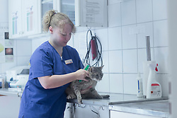 Female veterinary surgeon examining cat in surgery, Breisach, Baden-Wuerttemberg, Germany