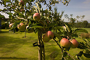 Red eating apples grow in a garden orchard in Somerset. It is the month of August in the heat of a late summer in the countryside and the ripe apples are almost ready to pick from these trees in a private garden - a region known for cider industry fruit.