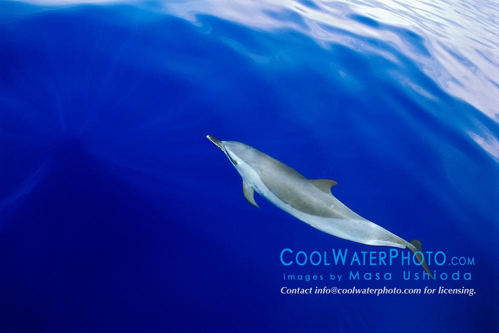 pantropical spotted dolphin, Stenella attenuata, bow-riding, off Kona Coast, Big Island, Hawaii, Pacific Ocean