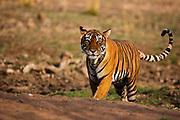 A Bengal tiger walking (Panthera tigris tigris) ,Ranthambhore National Park, Rajasthan, India,