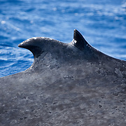 Humpback whale (Megaptera novaeangliae) with a split dorsal fin. This characteristic shows up every once in a while among the whales that visit Vava'u in the Kingdom of Tonga.