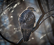 The red-tailed hawk in Inwood Hill Park, NYC