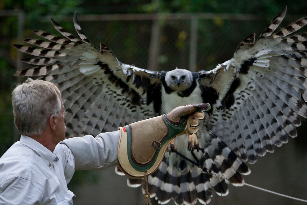 Contagem, Minas Gerais - Brazil... June, 2008...Falconry techniques are used to help manipulating animals in .captivity preparing them for artifi cial insemination procedures. .CRAX's goal is to reintroduce into nature the nestlings that are born...Foto: Joao Marcos Rosa / Agencia Nitro