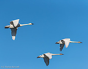 Two young tundra swans accompany a parent as the group heads inland from Hayton Reserve on Skagit Bay.