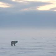 Polar Bear walks the expansive lake near Cape Churchill, Manitoba, Canada.