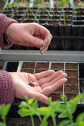 Sowing onions in module seed trays