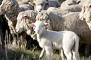 Marino lamb in flock<br /> Larger JPEGS and TIFFs available. Contact us via  www.photograhy4business.com
