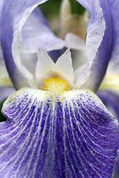 Flowers - Iris - purple and white