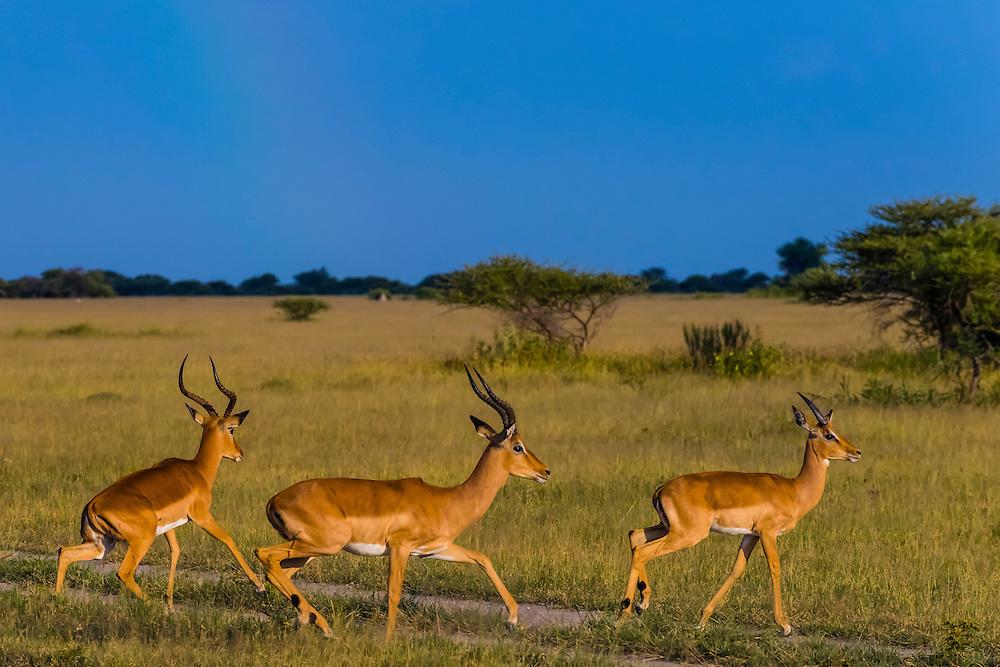 Herd of impala, Nxai Pan National Park, Botswana.