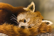 Red Panda, curled up with its striped tail, captive