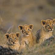 African Lion, (Panthera leo) Portrait of cubs. Masai Mara Game Reserve. Kenya. Africa.