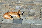 A dog lies sleeping in the sun on the paving stones in the courtyard of  Wangdue Phrodrang Dzong.  Wangdue Phrodrang Dzong. Buhtan, Druk Yul.<br />14 November 2006