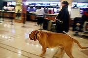 the Dogue de Bordeaux at The133rd Westminister Kennel Club Dog Show Press Conference announcing The Dogue De Bordeaux debut at the Westminister Kennel Club Dog Show held at the Pennsylvania Hotel Sky Top Ball Room on February 5, 2009 in New York City