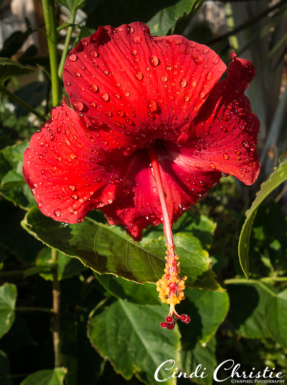 A hibiscus grows at Villa del Palmar resort, Cabo San Lucas. Mexico, on Tuesday, Oct. 23, 2012. (© 2012 Cindi Christie/Cyanpixel)