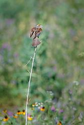 Dickcissel and wildflowers, Trinity River Audubon Center, Dallas, Texas, USA.