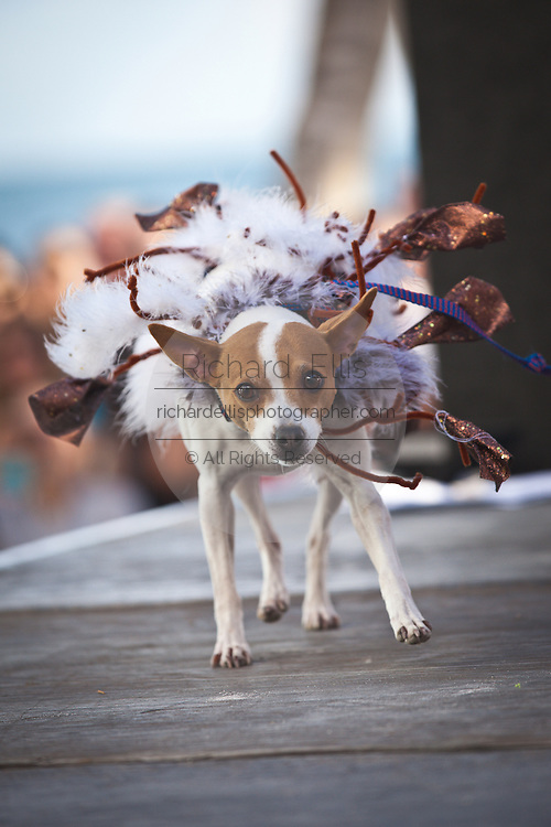 A costumed dog during the Pet Masquerade at  the annual Fantasy Fest Key West, Florida.