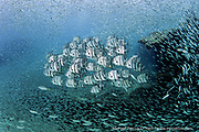 A school of Atlantic Spadefish, Chaetodipterus faber, is surrounded by thousands of tiny baitfish near Jupiter, Florida, United States.