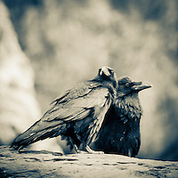 Ravens on  the Grand Canyon. Grand Canyon National Park, AZ.<br />