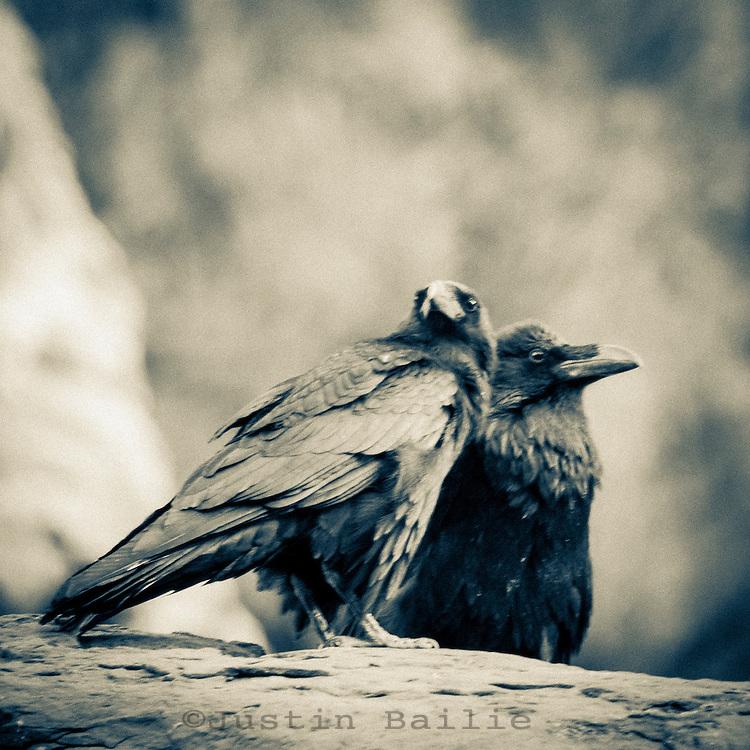 Ravens on  the Grand Canyon. Grand Canyon National Park, AZ.<br /> <br /> 12x12 inch square prints(8x8 inch photo) printed on Kodak Endura paper (lustre only)