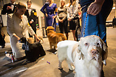 Westminster Kennel Club Dog Show - 2013