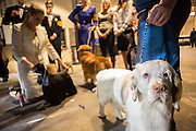 New York City, US, 12 February 2013. Dogs and their handlers in the Junior Showmanship division wait to go into the show ring at the 137th annual Westminster Kennel Club dog show.