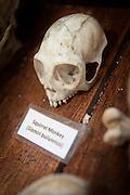 Squirrel Monkey Skull, Manu learning centre, Manu National Park, Peru, South America