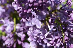 Lilac Festival, Boston, MA