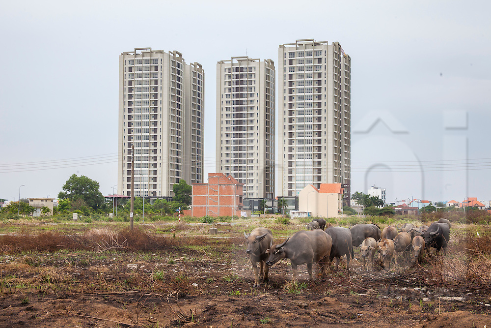 A herd of water buffalo cross a farmland, contrasting with brand new skyscrapers built in background. Ho Chi Minh city, Vietnam, Southeast Asia