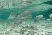 bonefish, Albula vulpes and chub, Kyphosus sp., Ambergris Caye, Belize, Central America ( Caribbean Sea )