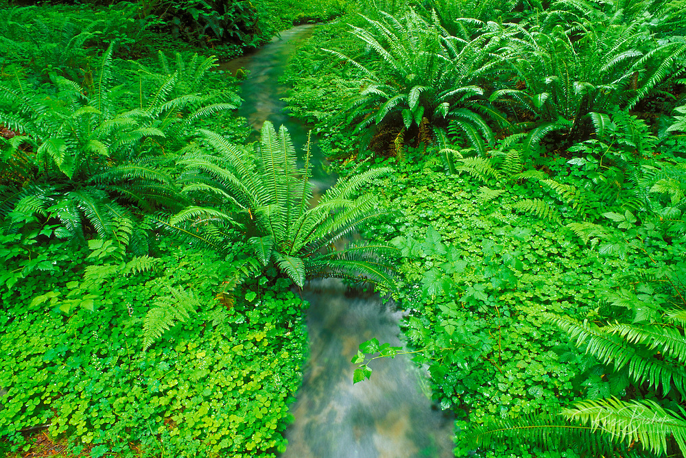 Sword ferns and sorrel (Oxalis oregana) along creek in the Quinault Rain Forest, Olympic National Park, Washington USA