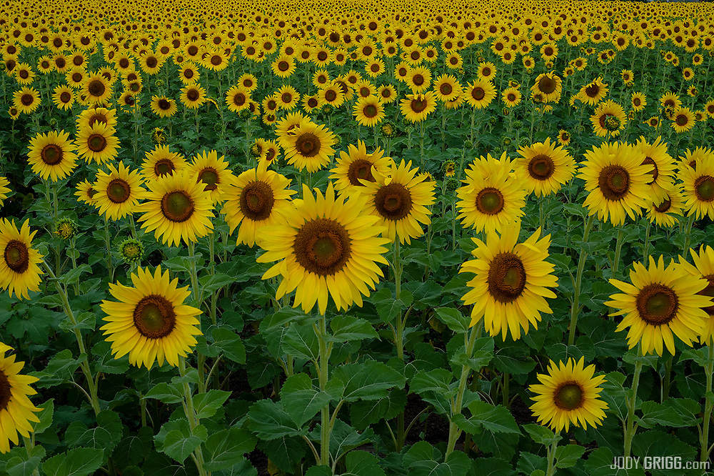 A roadside field of sunflowers just outside of Olathe, Colorado.