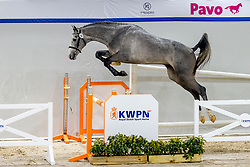 020, Niwyruso<br /> KWPN Hengstenkeuring 2021<br /> © Hippo Foto - Dirk Caremans<br />  03/02/2021