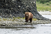 A grizzly bear sow hunts for chum salmon in the lower lagoon at the McNeil River State Game Sanctuary on the Kenai Peninsula, Alaska. The remote site is accessed only with a special permit and is the world's largest seasonal population of brown bears.