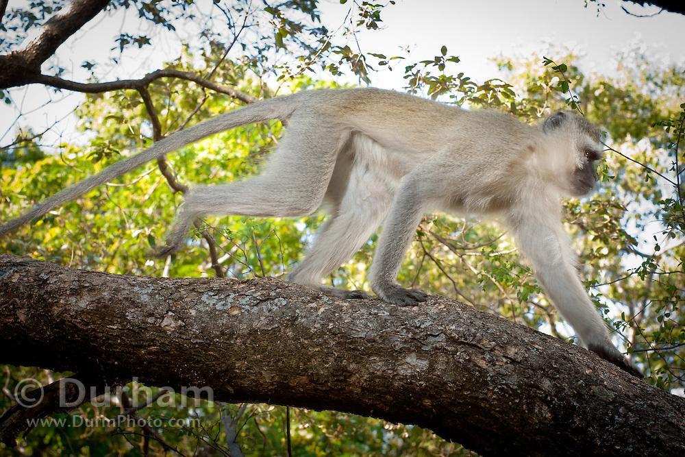 A male vervet monkey (Chlorocebus pygerythrus) traversing a tree limb in Matobo National Park, part of the Motopos Hiils area in Zimbabwe. The park is an U.N. UNESCO World Hertiage Site. © Michael Durham / www.DurmPhoto.com