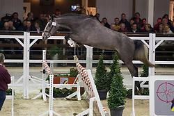 039, Nero Van Paemel<br /> BWP Hengsten keuring Koningshooikt 2015<br /> © Hippo Foto - Dirk Caremans<br /> 21/01/16
