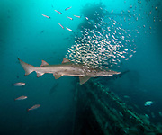 Sand tiger shark,  USCGC Spar Shipwreck