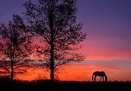 A Grazing Horse At Sunrise During Springtime In Horse Country, Lexington, Kentucky, USA