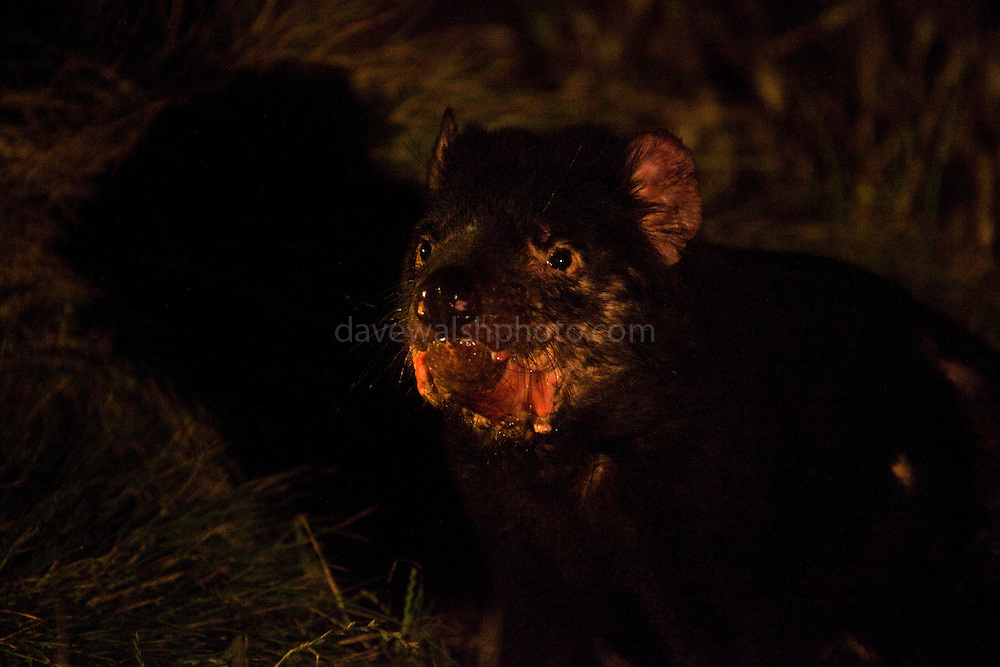 "Male tasmanian devil, Wild and badly scarred from fighting with other males, known as scarface, photographed late at night at Kingsrun, Geoff King's ""devil restaurant"" on his land near Arthur River, north west Tasmania. The devils are lured using a staked-out roadkill wallaby, under spotlights beside an old fishing hut on the beach. Tasmania's northwest is the only area not yet affected by Devil Facial Tumour Disease, which has caused a population crash elsewhere on the island.  ..The disease is a contagious cancer that scientists are only beginning to understand, but has spread rapidly through the population, leaving the devil listed as endangered. In December 2009, it was announced that the disease may be related a peripheral nerve cell, called the Schwann cell, which has led some hopes for preserving the devil, at least in terms of quarantine insurance populations."