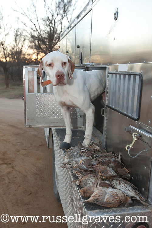ENGLISH POINTER WITH DEAD BIRDS LAYING ON THE TAILGATE
