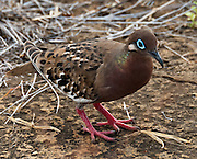 The Galápagos Dove (Zenaida galapagoensis, in the Columbidae family) is seen on Puerto Egas, on Santiago (or San Salvador, or James) Island, in the Galápagos archipelago, a province of Ecuador, South America. The Galápagos Dove is endemic to the Galápagos Islands. Its natural habitats are subtropical or tropical dry forests and subtropical or tropical dry shrubland. Santiago Island has a maximum altitude of 907 metres (2976 feet). Santiago is equivalent to Saint James in English; and its alternative name San Salvador refers to the island discovered by Columbus in the Caribbean Sea.